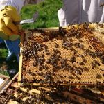 FBA, Newtonbank Apiary. Showing new beekeepers a frame of brood